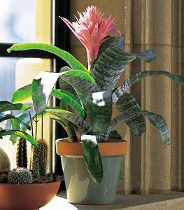 Tropical Bromeliad
