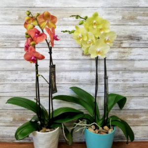 Live Flowering Orchid Plant
