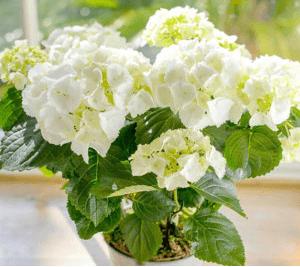 Spring Hydrangea Plant