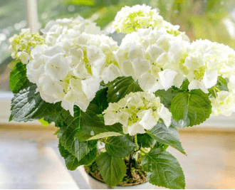 white potted hydrangea