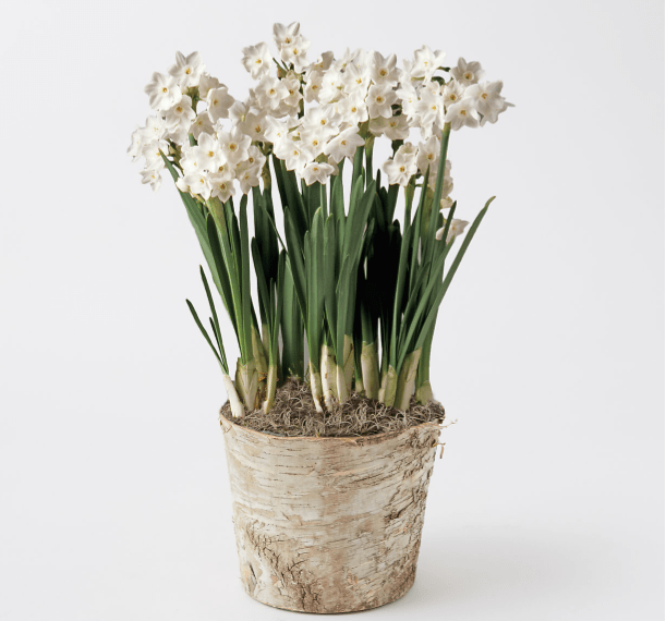 paperwhites in birch