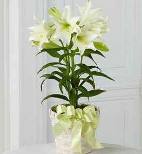 Spring Easter Lily