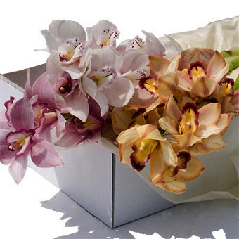 Boxed Cymbidium Stem