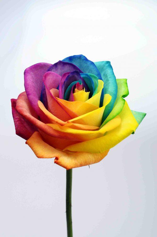 Pride Rose
