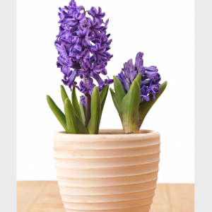 Potted Fragrant Hyacinth