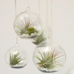 Air Plant bubbles