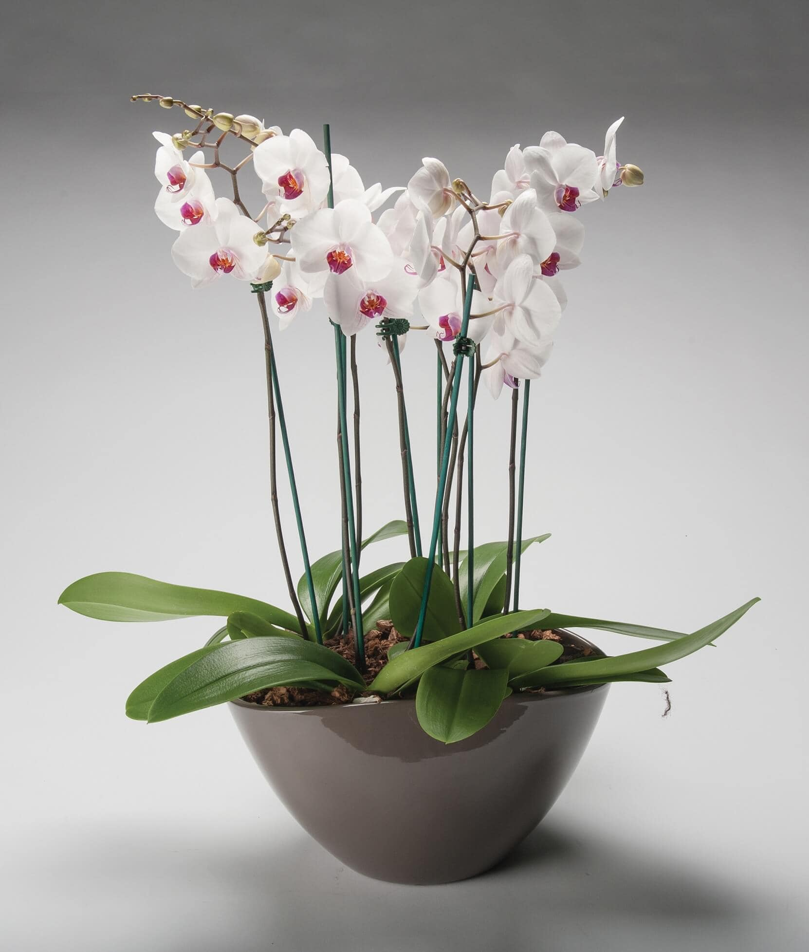 Deluxe Potted Orchid