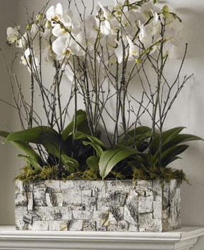 Phalaenopsis Forest