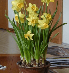 Potted spring daffodils