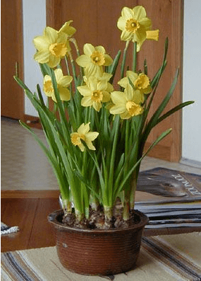 potted daffs
