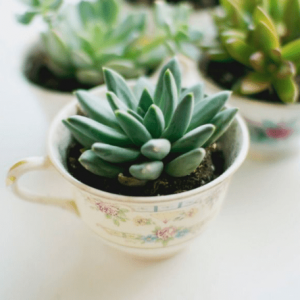 Tea cup Planter - succulent