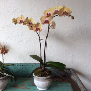 large_orchid_1