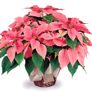 Pink Picasso Poinsettia