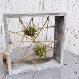 Air plants with Frame