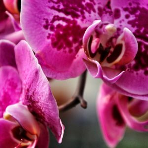 Cascade Waterfall Orchid