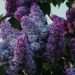 Fragrant Lilac Bouquet