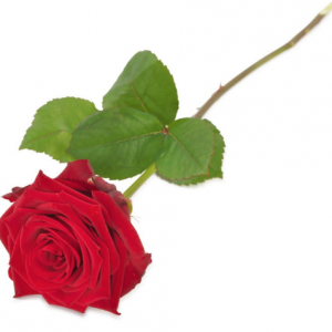 Single Perfect Rose - red