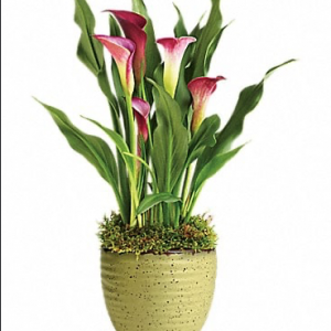 Flowering Spring Calla Lily