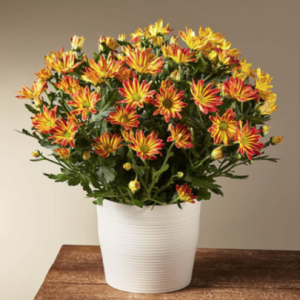 Mums for Fall